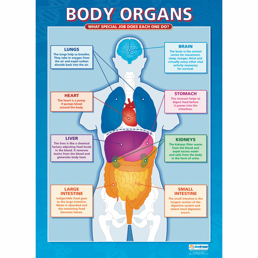 Buy A1 Sized Human Body Poster Set | TTS International
