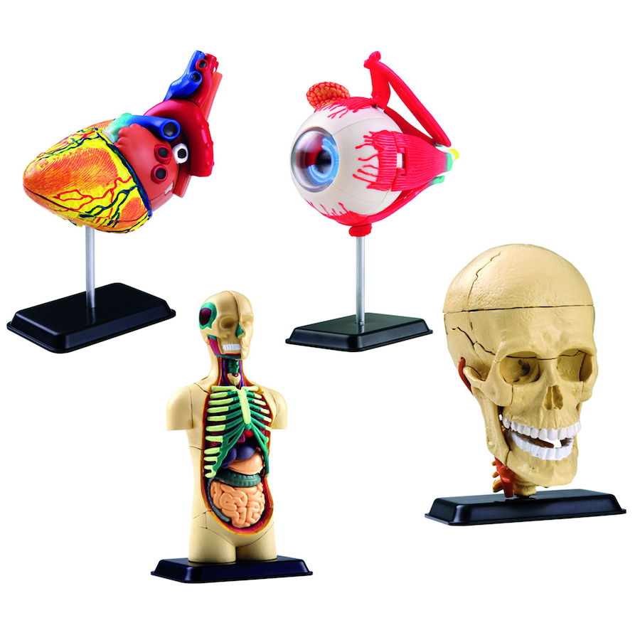Buy Human Anatomy Skull Heart And Eye Models Tts International